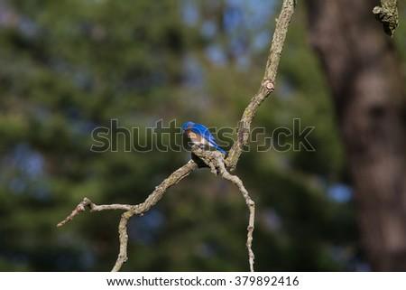 Eastern Bluebird Perching on Branch, Illinois - stock photo