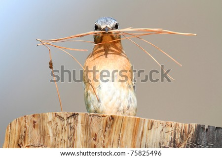 Eastern Bluebird (Sialia sialis) on a log with nesting material - stock photo