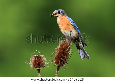 Eastern Bluebird (Sialia sialis) on a teasel plant - stock photo
