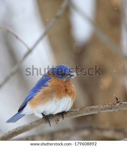 Eastern bluebird, Sialia sialis, perched on a tree branch with snow on its beak