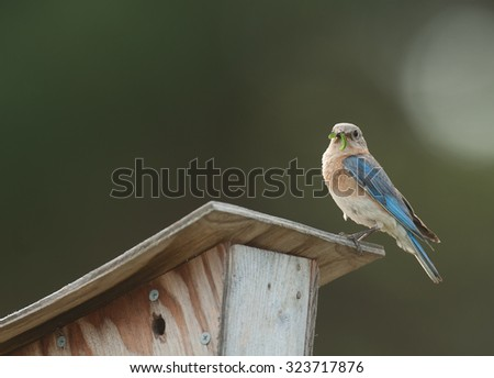 Eastern bluebird (sialia sialis) perched on bluebird house with insect in its beak to feed to its young - stock photo