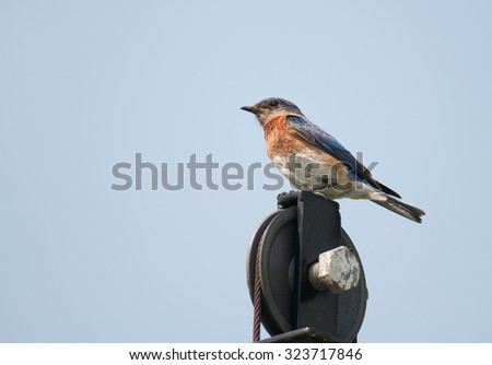 Eastern bluebird (sialia sialis) resting on an iron pulley, against blue sky - stock photo