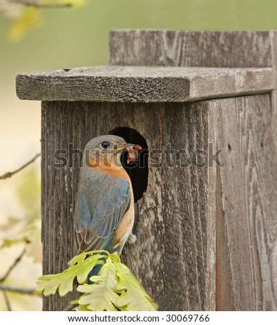 Eastern bluebird with food in its beak perched on a birdhouse