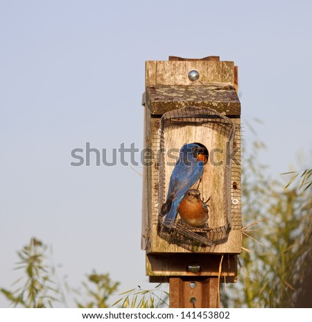 Eastern Bluebirds feeding their babies on a bright spring day. - stock photo