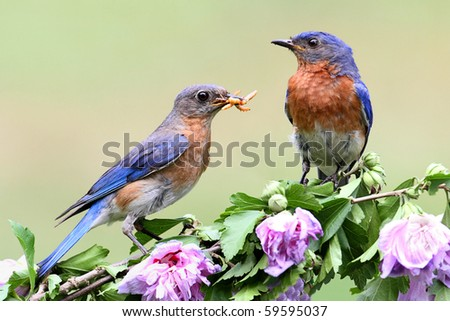 Eastern Bluebirds (Sialia sialis) on a hibiscus bush - stock photo