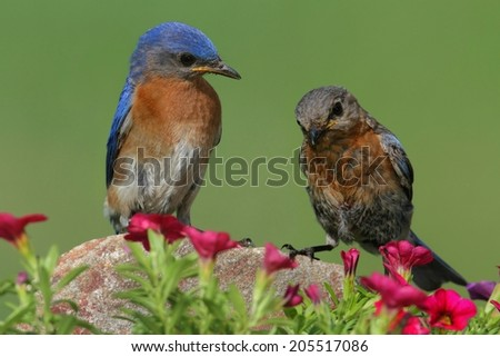 Eastern Bluebirds (Sialia sialis) on a rock with flowers