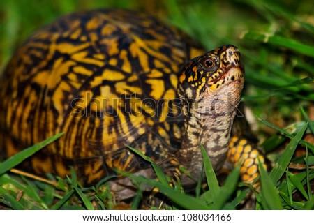 Eastern Box Turtle (Terrapene carolina) sitting in grass. - stock photo