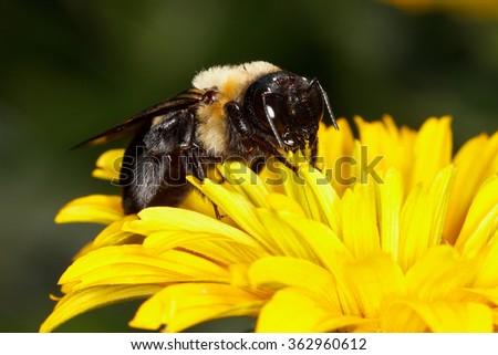 Eastern Carpenter Bee, Xylocopa virginica - stock photo