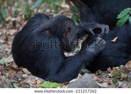 Eastern chimpanzee, Pan troglodytes schweinfurthii, during a grooming session - stock photo