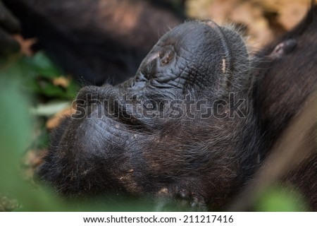 Eastern chimpanzee resting on forest floor - stock photo