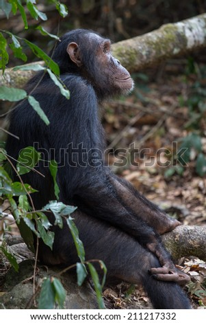 Eastern chimpanzee seated upright in forest - stock photo