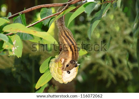 Eastern Chipmunk (Squirrel ) eating sugar apple on tree - stock photo