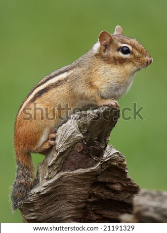 Eastern Chipmunk (Tamias striatus) squirrel posing. - stock photo