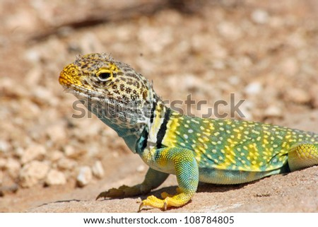 Eastern Collared Lizard close up
