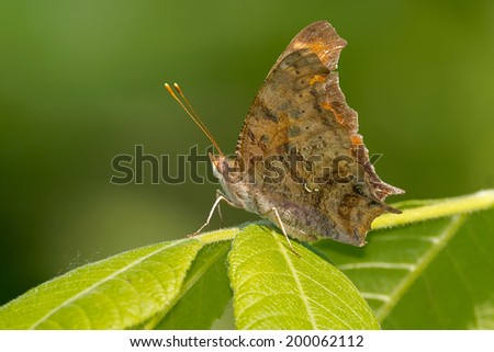 Eastern Comma Butterfly perched on a leaf. - stock photo