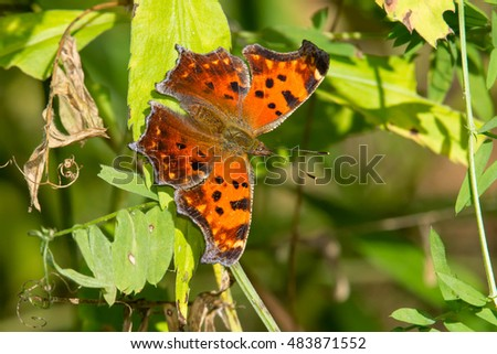 Eastern Comma Butterfly perched on a leaf.