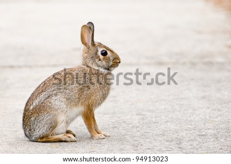 Eastern Cottontail Bunny Rabbit - stock photo