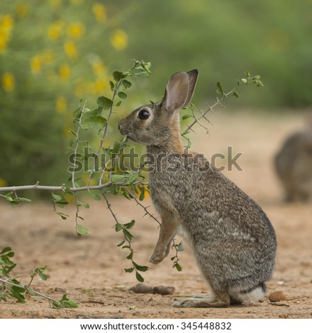 Eastern Cottontail feeding - stock photo