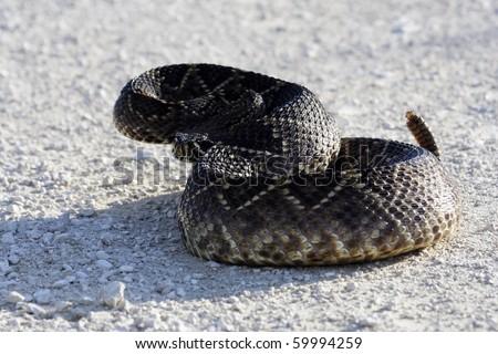 Eastern Diamondback Rattlesnake coiled up on the Turner River Road, Big Cypress National Preserve, Florida Everglades - stock photo