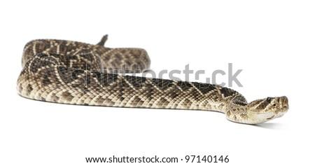 eastern diamondback rattlesnake - Crotalus adamanteus , poisonous, white background - stock photo