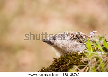 Eastern European Hedgehog sniffing something - stock photo