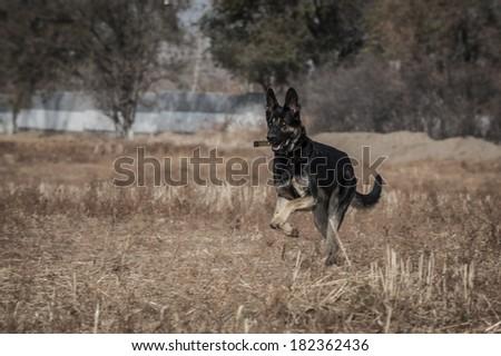 Eastern European Shepherd Running with a Stick - stock photo