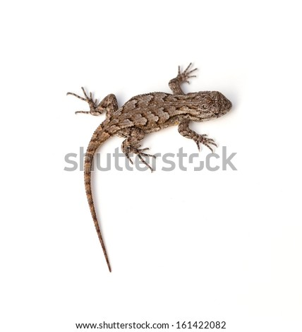 Eastern Fence Lizard (Sceloporus undulatus) - stock photo