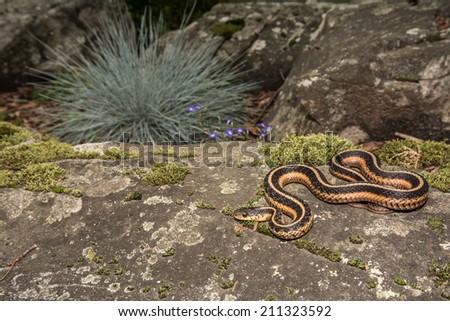 Eastern Garter Snake - stock photo