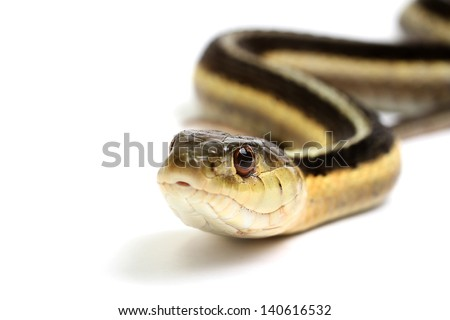 Eastern Gartersnake on a white background - stock photo