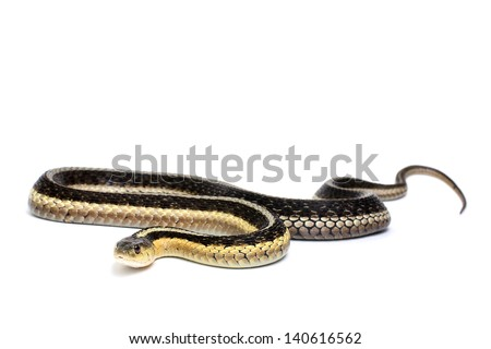 Eastern Gartersnake on a white background
