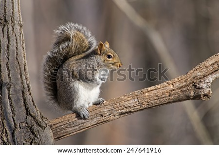 Eastern gray squirrel has predominantly gray fur and large bushy tail but it can have a brownish color. It has a white underside as compared to the brownish orange underside of the fox squirrel.  - stock photo