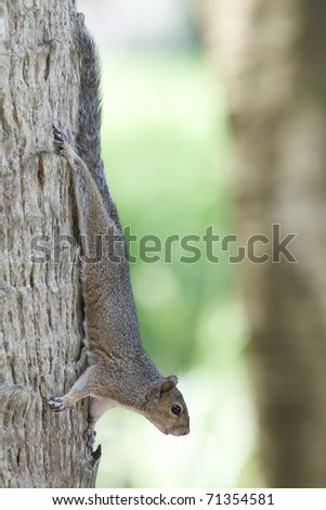 Eastern Gray Squirrel on palm tree