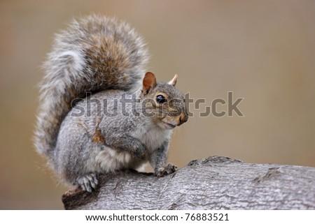 Eastern Gray Squirrel (Sciurus carolinensis) - stock photo