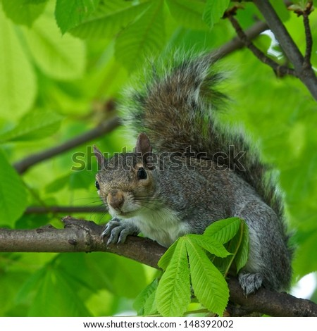 Eastern Gray Squirrel (Sciurus carolinensis) in natural blur background, squirrel sitting on the tree, Eastern Gray Squirrel on a tree branch, Squirrel on summer, focus to the face