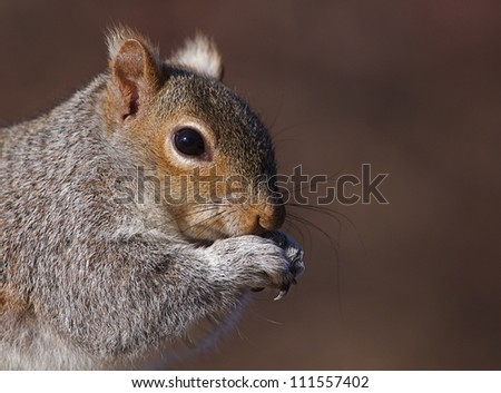 Eastern Gray Squirrel / Sciurus carolinensis, sharp, highly detailed portrait against a warm brown background; Philadelphia, Pennsylvania