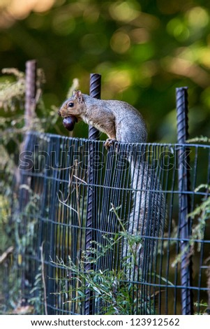 Eastern Gray Squirrel, Sciurus carolinensis,  with acorn - stock photo