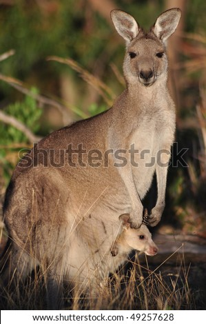 Eastern grey kangaroo with baby in the pouch - stock photo