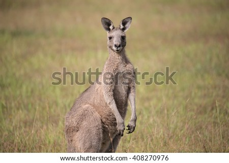 Eastern Grey Kangaroo with ears pricked and standing in the grazing fields of Eurobodalla National Park
