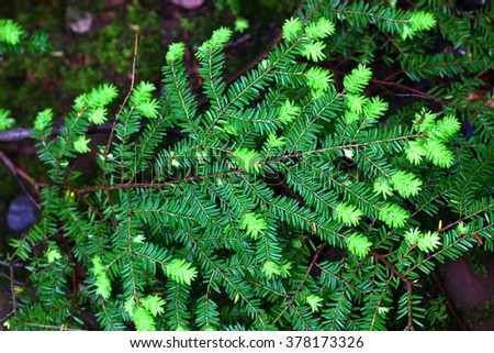 Eastern Hemlock (Tsuga canadensis) needles at Porcupine Mountains Wilderness State Park in Michigan - stock photo