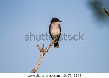 Tyrannus stock images royalty free images vectors shutterstock eastern kingbird tyrannus tyrannus this flycatcher perched and waiting thecheapjerseys Image collections