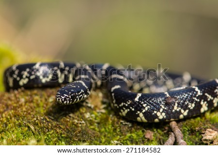 Eastern Kingsnake - stock photo