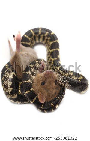 Eastern kingsnake Lampropeltis getula eating mouse, isolated on white. - stock photo