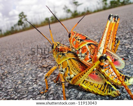 Eastern Lubber Grasshoppers Mating in Florida Everglades - stock photo