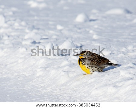 Eastern Meadowlark hunched on snow