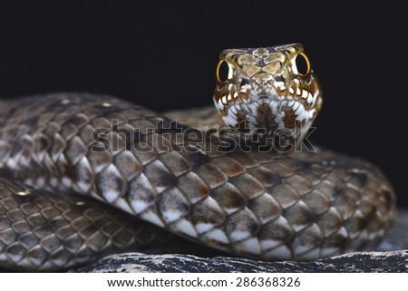 Eastern Montpellier snake (Malpolon insignatus) - stock photo