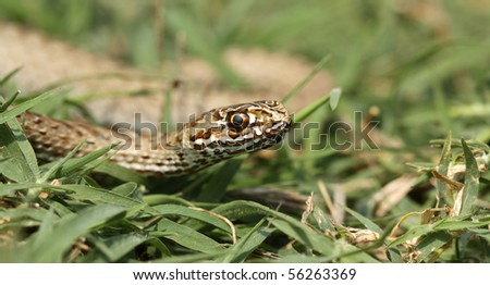 Eastern Montpellier Snake - Malpolon insignitus crawling on the grass - stock photo