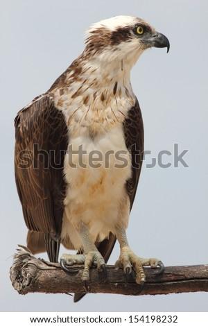 Eastern osprey (Pandion cristatus) - an Australian bird of prey - stock photo