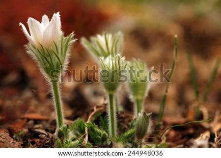 Eastern pasqueflower - Pulsatilla patens -  flowers. - stock photo