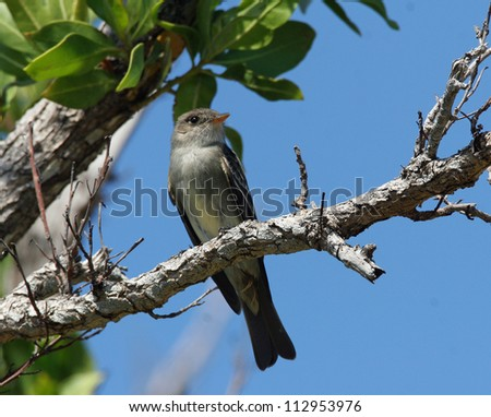 eastern pewee - stock photo