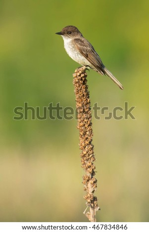 Eastern Phoebe perched on a dead Common Mullein flower.